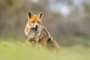Fuchs, meine lieben Füchse Bild von bryan van willigen