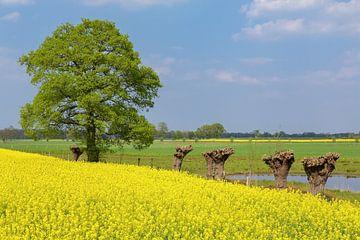 Blühendes gelbes Rapssamenfeld mit Eichen- und Pollardweiden von Ben Schonewille