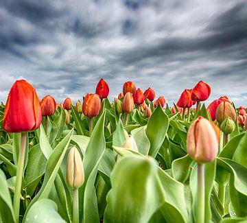 Rode Tulpen 2020 H van Alex Hiemstra