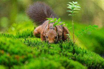 Eichhörnchen auf Nahrungssuche von Björn van den Berg