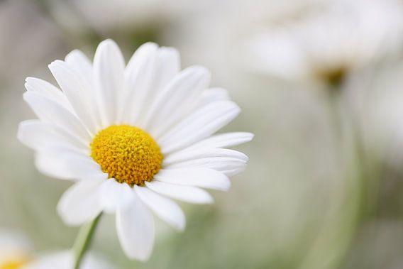 White daisy van LHJB Photography