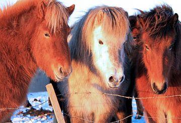 Ijslandse paarden van Gert-Jan Siesling