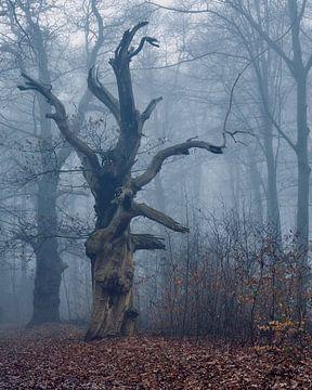 De enorme oude Eik in het woud bij Kasteel Hillenraad, in mist gehuld
