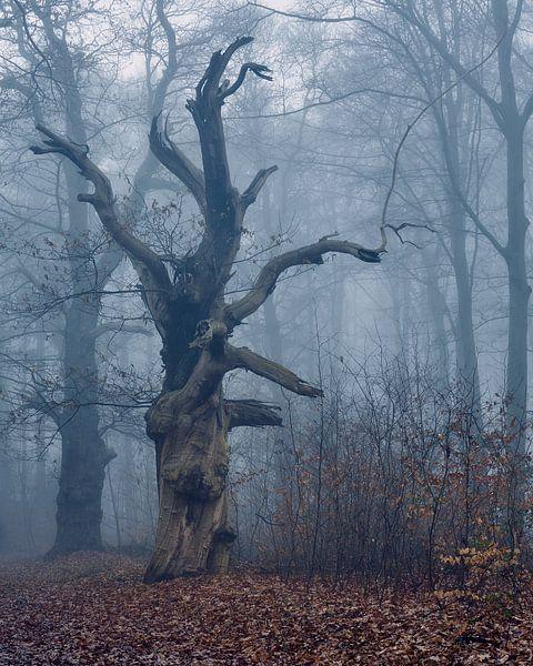 De enorme oude Eik in het woud bij Kasteel Hillenraad, in mist gehuld van Epic Photography