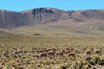 Vicunas sur le plateau bolivien sur Marieke Funke