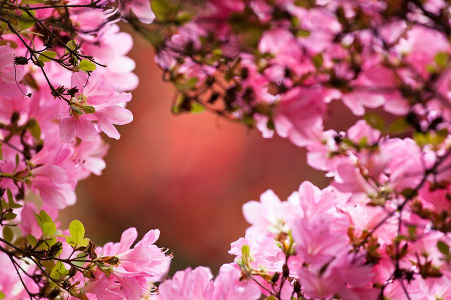 Bloesem in de Japanse Tuin van Raoul Suermondt