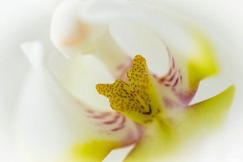 Hart van een witte orchidee, close up