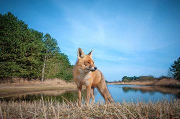 Nieuwsgierige vos sur Lex Scholten