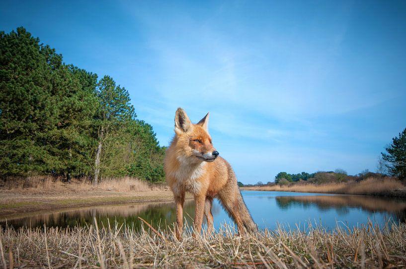 Nieuwsgierige vos van Lex Scholten
