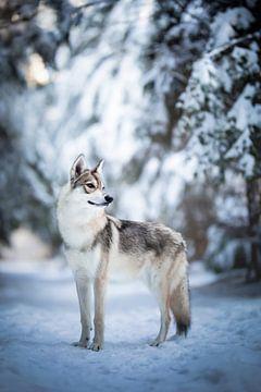 Wolf hond portret in de sneeuw van Lotte van Alderen