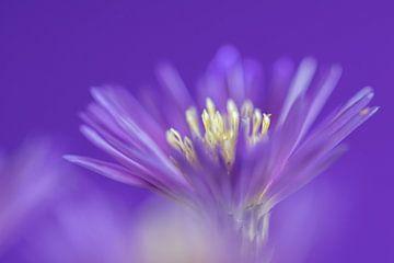 Violett | Blume von Marianne Twijnstra-Gerrits