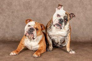 Englische Bulldogge von Tony Wuite