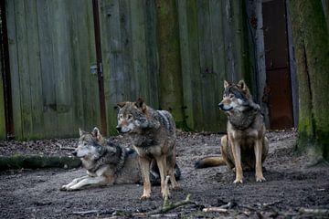 Drie wolven in gevangenschap van Abi Waren