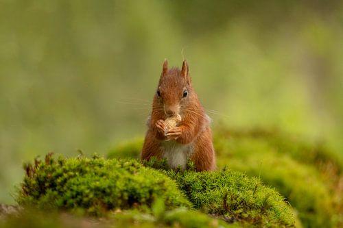Écureuil avec une noix