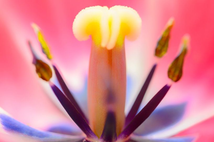 Tulp van binnen macro van Sjoerd van der Wal