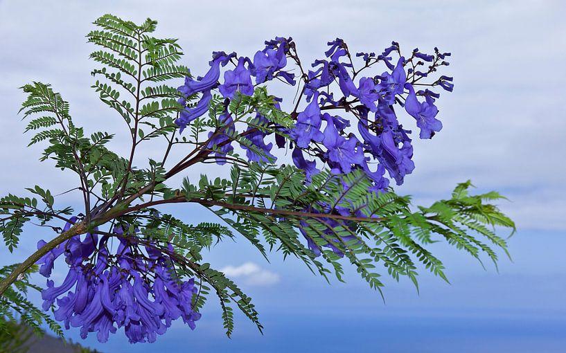 Jacarandablüten - Jacaranda Mimosifolia von Monarch C.