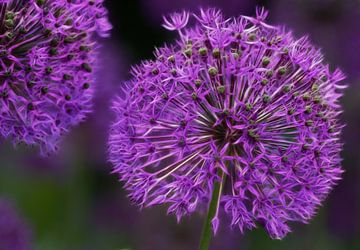 Zierlauch Blüte van Martina Fornal