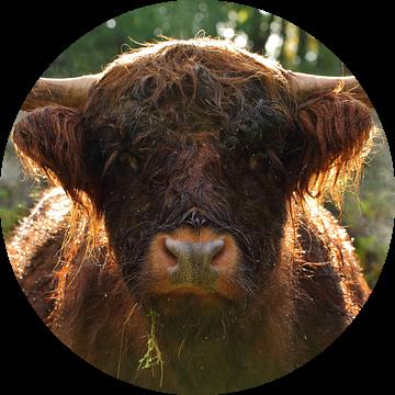 Schotse Hooglander van Discover Dutch Nature