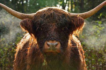 Un Highlander écossais sur Discover Dutch Nature