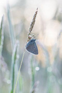 klaverblauwtje in tegenlicht van Francois Debets