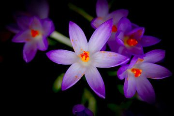 Krokusblüte von Thomas Jäger