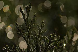 Detail van een conifeer met bokeh lichtcirkels van Kristof Lauwers