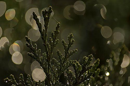 Detail van een conifeer met bokeh lichtcirkels