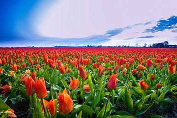 Tulpenfeld von Ed Klungers
