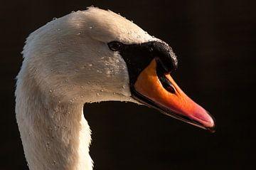 Portret van een zwaan... von Hermen van Laar