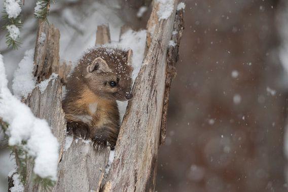 Pine Marten ( Martes americana ) in winter