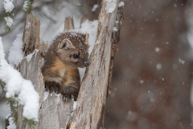 Pine Marten ( Martes americana ) in winter van wunderbare Erde