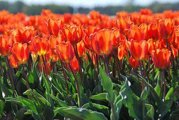 Orangefarbene Tulpen im Feld von Homemade Photos