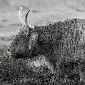 Texel Highlander noir et blanc avec un peu de couleur sur Texel360Fotografie Richard Heerschap