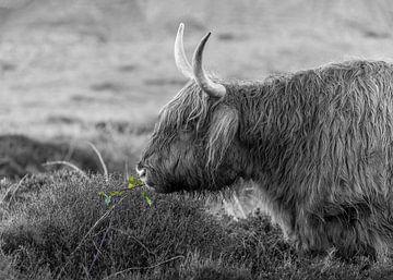 Texel Highlander noir et blanc avec un peu de couleur