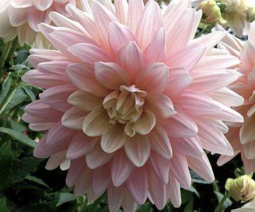 Dahlia in zacht rose tint van
