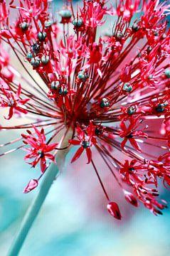 Allium von Violetta Honkisz