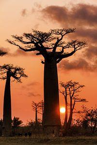 Baobab boom en de zon