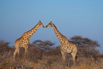 Kussende giraffen von Remco Siero