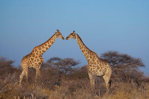 Kussende giraffen van Remco Siero