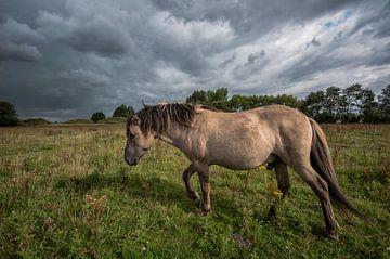 paard in de wei. von Tilly Meijer