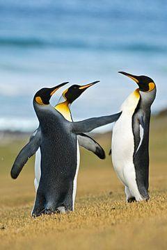 Drie Koningspinguins (Aptenodytes patagonicus) aan de kust, Falklandeilanden van Nature in Stock