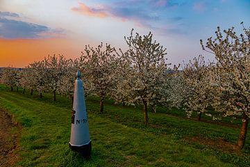 beau coucher de soleil aux couleurs chaudes entre les arbres fruitiers en fleurs à Maastricht, à la