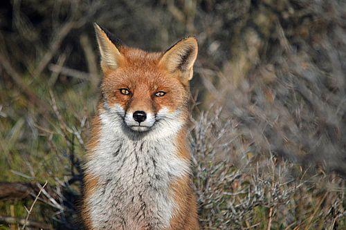 Een vos