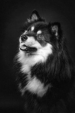 Fine Art Porträt eines Finnischer Lapphund in schwarz-weiß 3/3 von Lotte van Alderen
