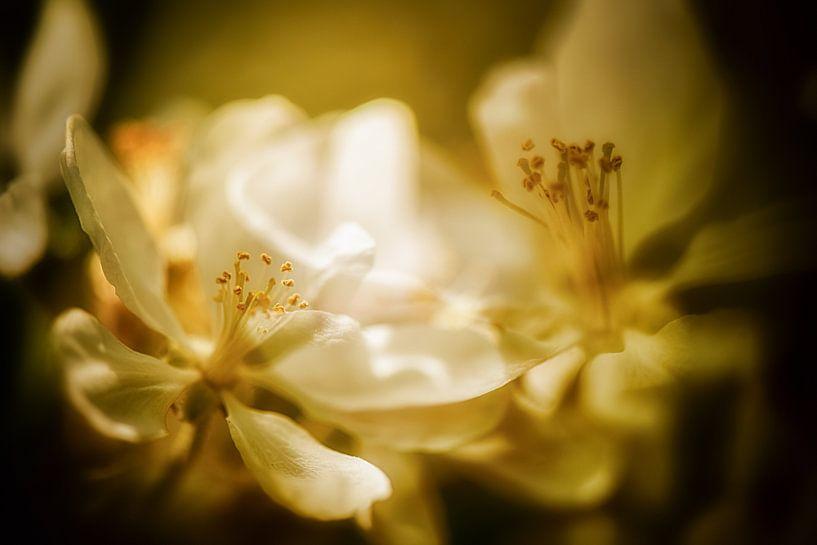 Apfelblüten im sanften Morgenlicht von Nicc Koch