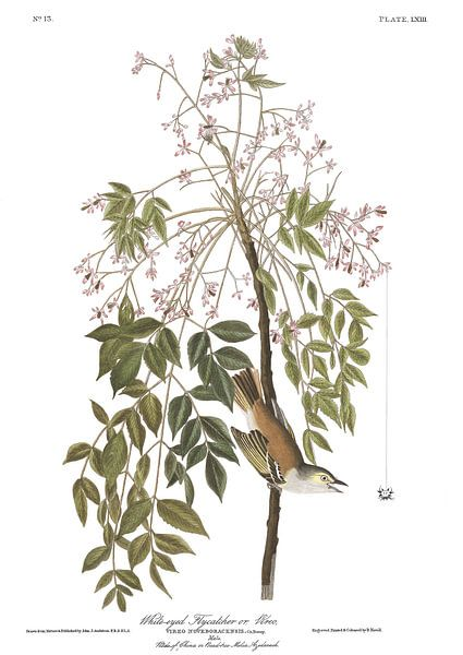 Witoogvireo van Birds of America