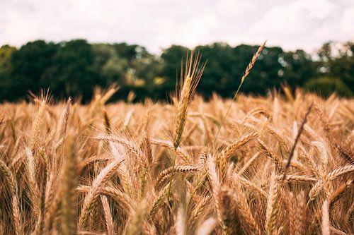 Corn field in detail. von Simon Peeters