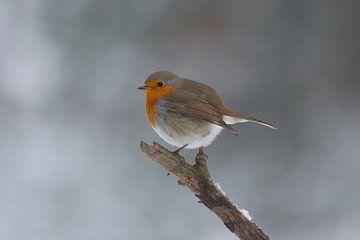 Winter in den Niederlanden, Robin im Schnee von Eric Wander