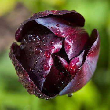 Tulp met dauw van Paul Kampman