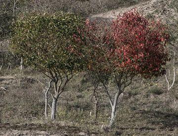 Herfstkleuren in de Wassenaarse duinen van Ralph Mbekie